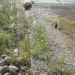 Spinnennetze mit Tau